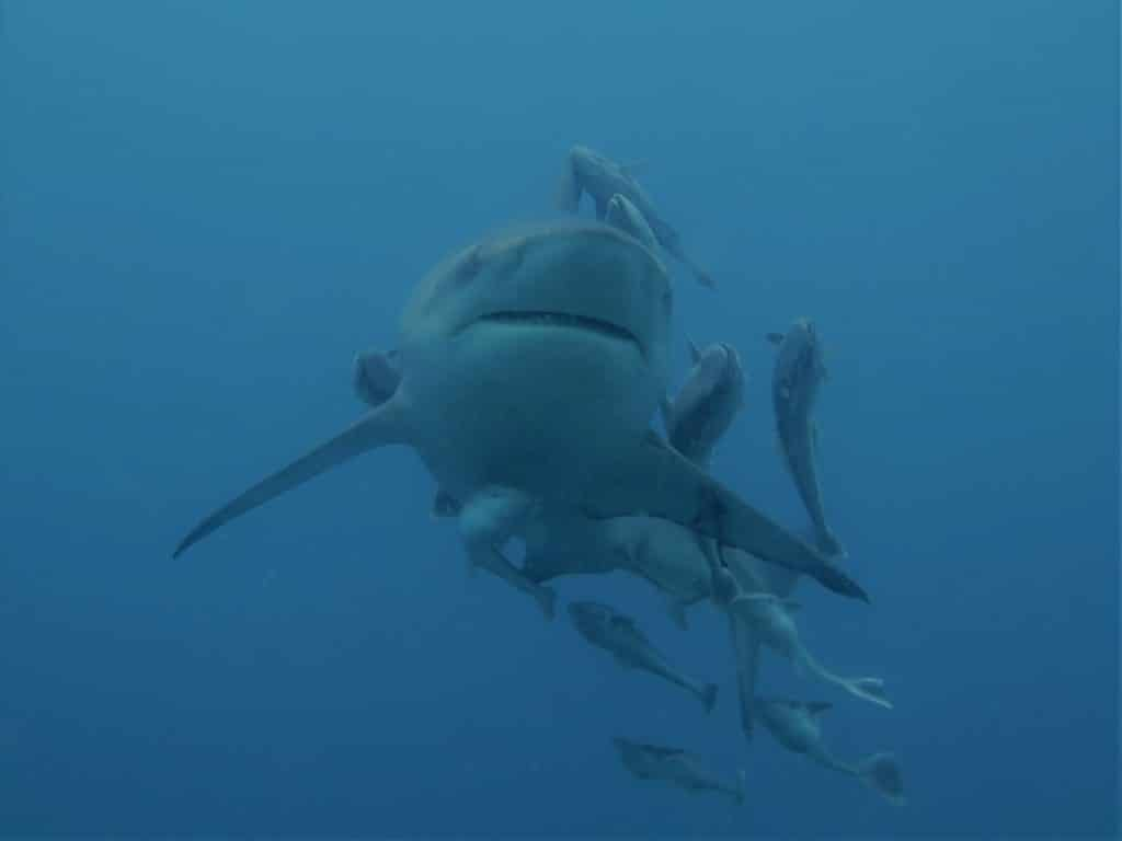 Shark Diving Experience - ScubaCo Diving & Travel
