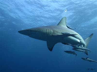 shark diving - blacktip shark -scubaco diving & travel