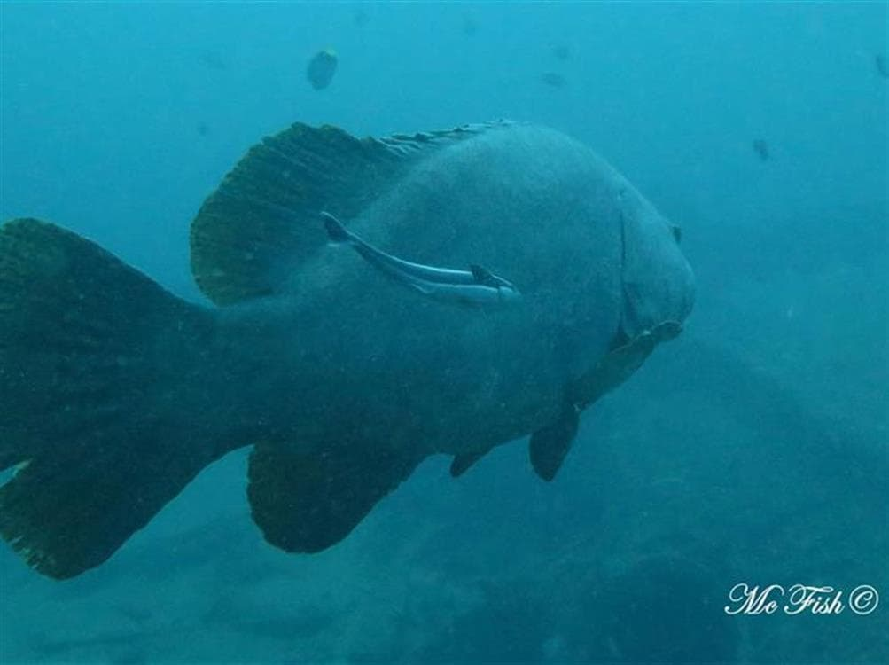 Brindle bass southern reefs - scubaco