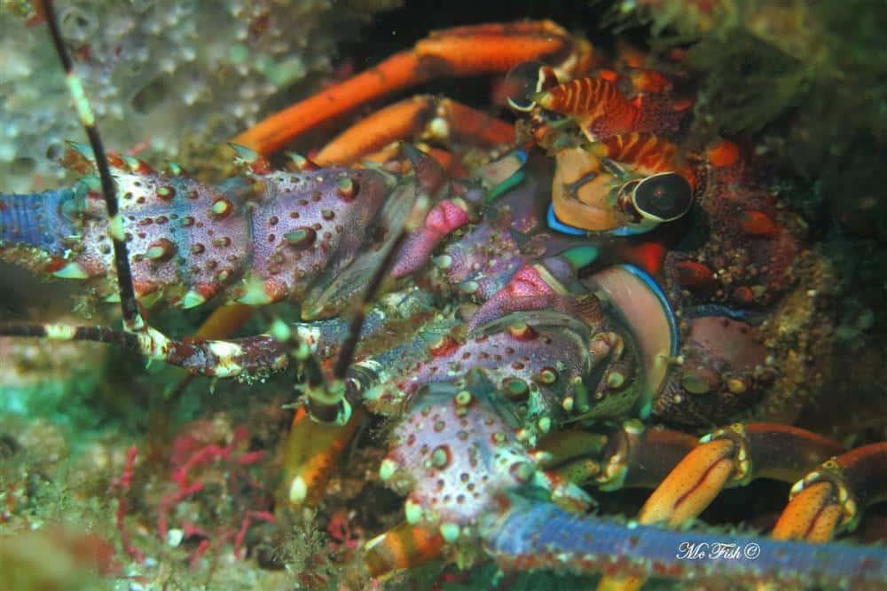 cryfish aliwal shoal - scubaco