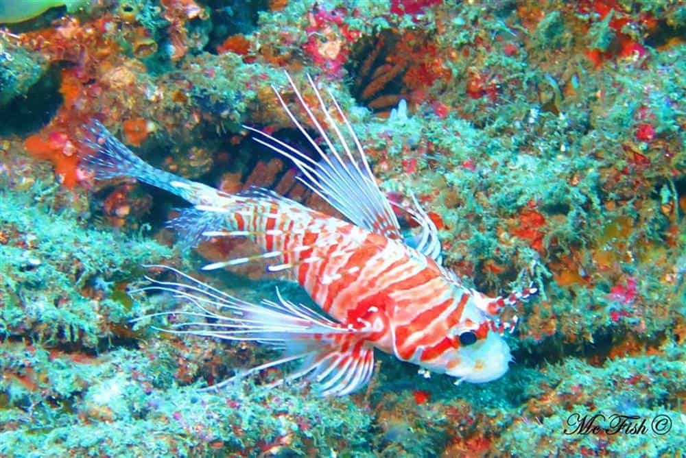 devil firefish southern reefs - scubaco