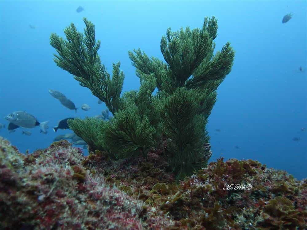 Green Tree Coral southern reefs - scubaco