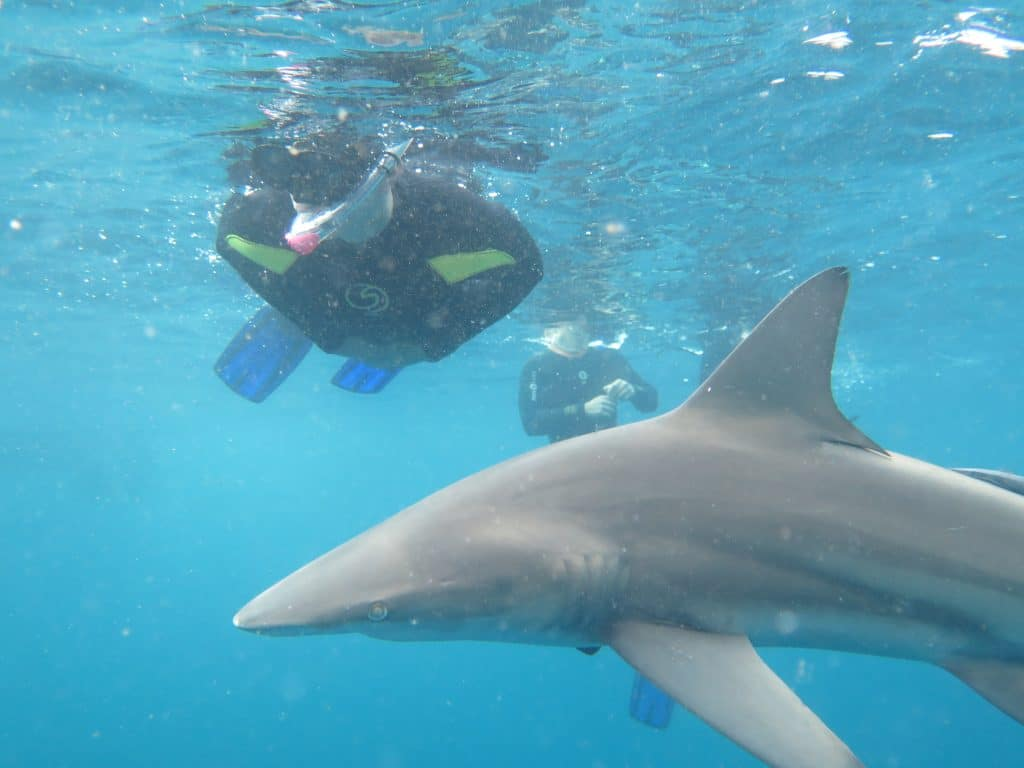 Shark Watch & Shark Snorkel - ScubaCo Diving & Travel