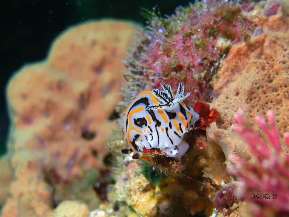 Nudibranch southern reefs - scubaco
