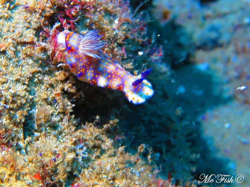 Nudibranch aliwal shoal - scubaco