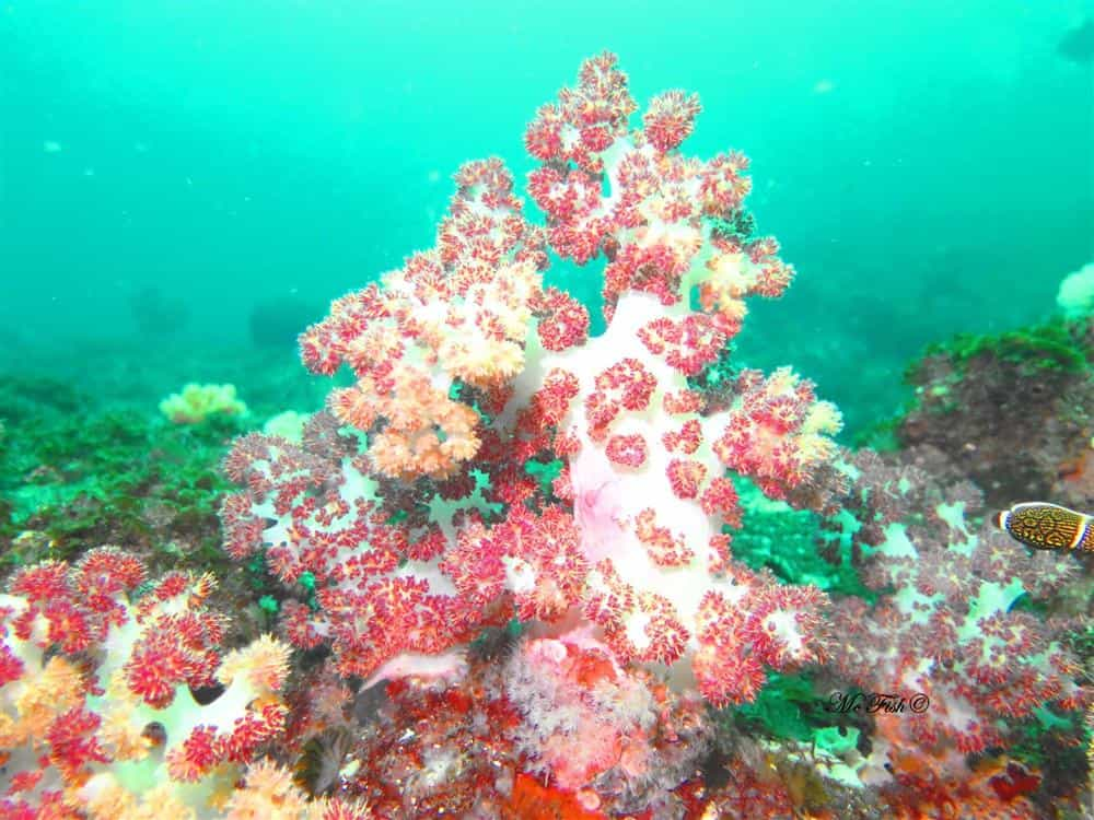 Pink Bristal Coral southern reefs - scubaco