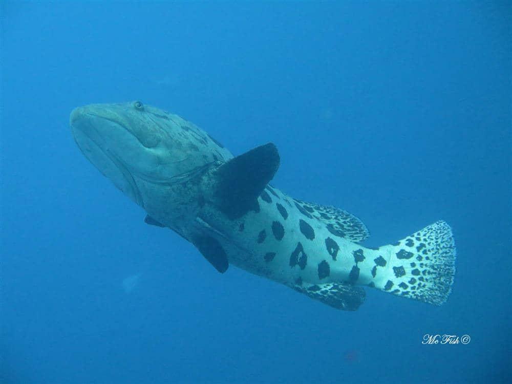 potato bass southern reefs - scubaco