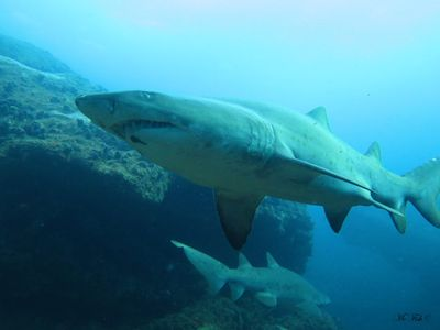 shark diving - raggedtooth shark -scubaco diving & travel