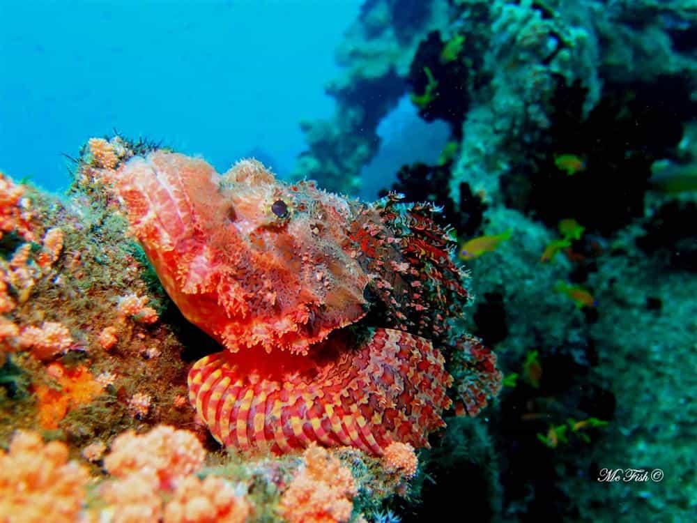Raggie scorpion fish aliwal shoal - scubaco