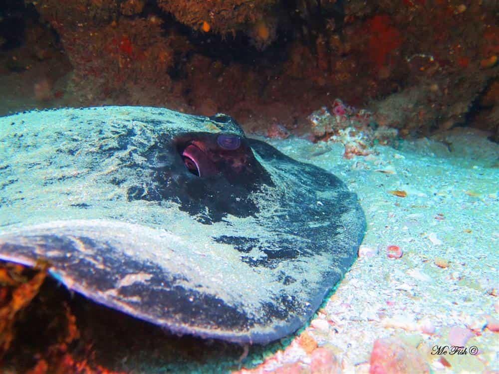 Round ribbon tail ray - aliwal shoal scubaco