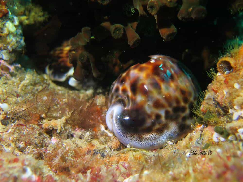 Tiger Cowrie aliwal shoal - scubaco
