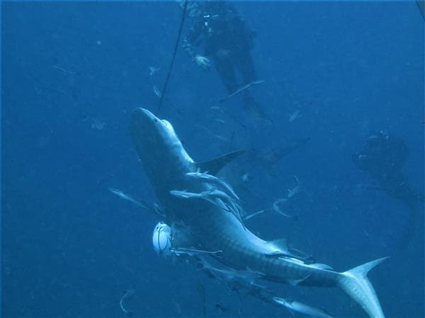 shark diving - tiger shark -scubaco diving & travel
