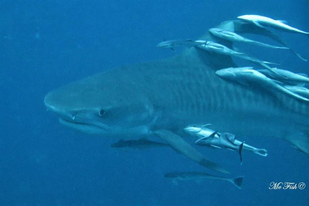 tiger shark aliwal shoal - scubaco