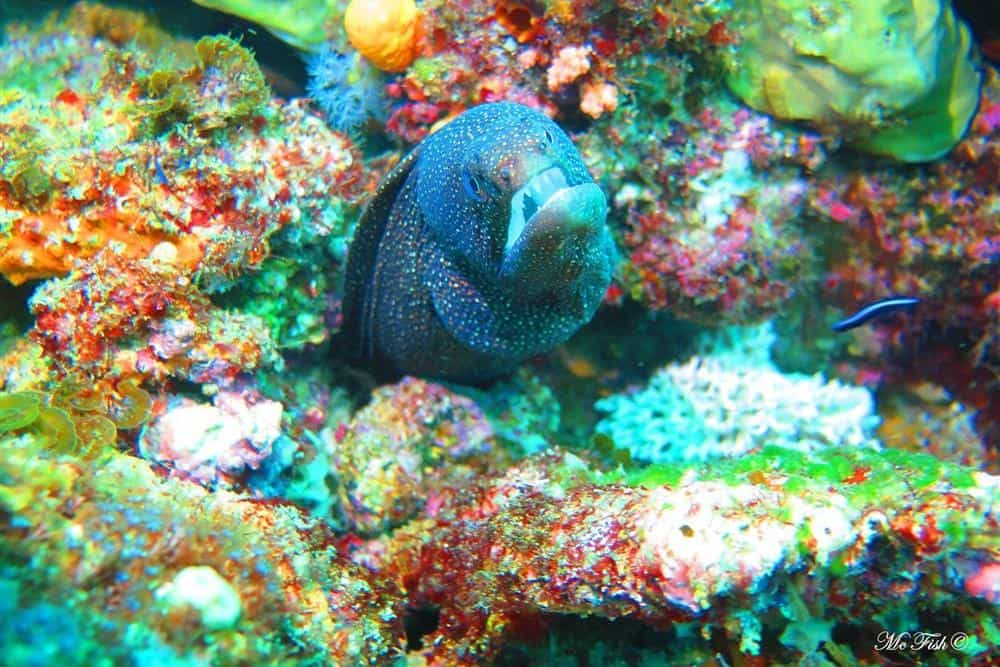 White mouth moray eel southern reefs - scubaco
