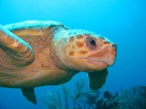 Turtle on Aliwal Shoal - ScubaCo Diving & Travel - Scottburgh / Umkomaas