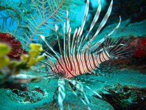 Lionfish on Aliwal Shoal - Reef diving - ScubaCo Diving & Travel - Umkomaas