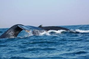 sightings of humpback whales in port st johns - sardine run