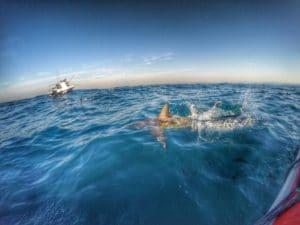 diving with sharks aliwal shoal