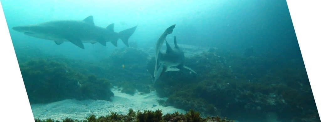 Ragged Tooth Sharks - scubaco diving & travel