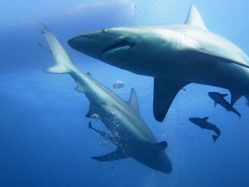ScubaCo Dive & Safari - Sharks - aliwal shoal
