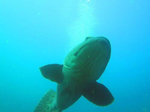 aliwal shoal - dive - scubaco - bass fish