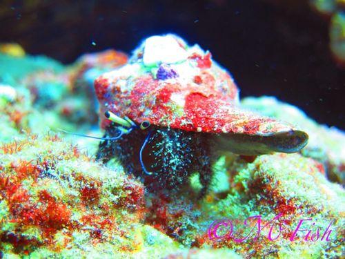 aliwal shoal - dive - scubaco - hermit crab