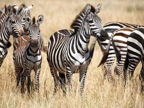scubaco dive & safari - zebra - wildlife
